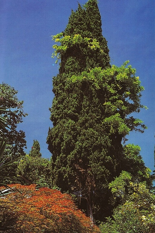 Acer palmatum, Wisteria sinensis che si arrampica su Cupressus sempervirens (ph. ∏Simone Sciutto)