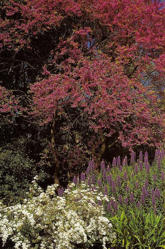 Primavera ai Giardini Hambury con Cercis siliquastrum (carminio), Spiraea catoniensis (bianco), Echium fastuosum (blu) (ph. ∏Simone Sciutto)